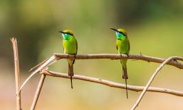 在分支的绿色食蜂鸟夫妇 库存图片