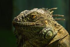 在分支的绿色鬣鳞蜥 免版税库存图片