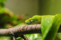在分支的翠青蛇狩猎 免版税图库摄影