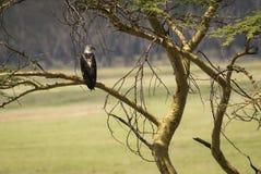 在分支的老鹰在马塞语玛拉,肯尼亚 免版税库存照片