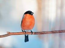 在分支的肥满红色红腹灰雀 库存照片