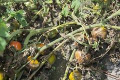 在分支的腐烂的蕃茄 免版税库存照片