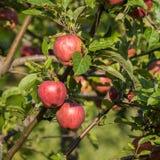 在分支的自然红色苹果 库存照片