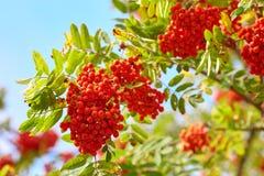 在分支的花揪 红色花楸浆果 免版税库存图片