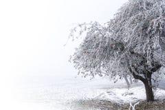 在分支的苹果树用红色苹果和霜在多雪 免版税库存照片