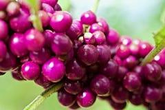 在分支的莓果 免版税库存图片