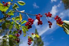 在分支的莓果 免版税库存照片