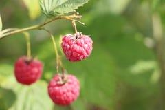 在分支的莓 免版税库存图片