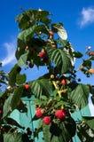 在分支的莓 图库摄影