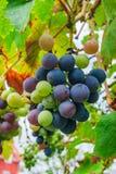 在分支的葡萄 库存图片