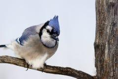 在分支的蓝色尖嘴鸟 库存照片