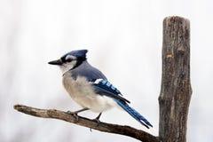 在分支的蓝色尖嘴鸟 免版税库存图片