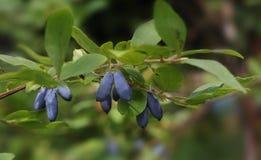 在分支的蓝色莓果 库存图片