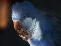 在分支的蓝色鹦鹉吃面包的 免版税图库摄影