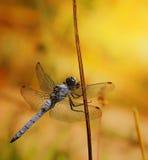 在分支的蓝色蜻蜓 免版税图库摄影
