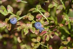 在分支的蓝莓 免版税库存图片