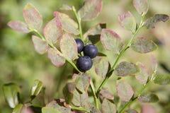 在分支的蓝莓 库存照片