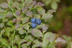 在分支的蓝莓 免版税库存照片