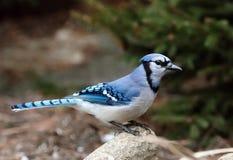 在分支的蓝鸟 免版税库存照片