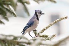 在分支的蓝鸟 库存图片