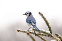 在分支的蓝鸟 库存照片