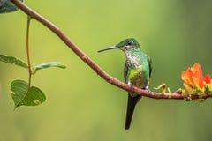 在分支的蜂鸟女皇精采开会 从哥伦比亚Nationl公园Montezuma的蜂鸟 免版税图库摄影