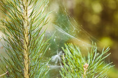 在分支的蜘蛛网 库存图片