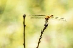 在分支的蜻蜓特写镜头 库存图片