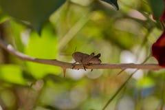 在分支的蝗虫 免版税库存图片
