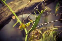 在分支的螳螂 免版税图库摄影