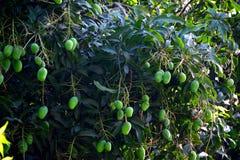 在分支的许多绿色芒果在西孟加拉邦印度 免版税图库摄影