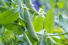 在分支的豌豆荚,生长在绿色叶子中 免版税库存照片