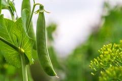 在分支的豌豆荚 库存图片