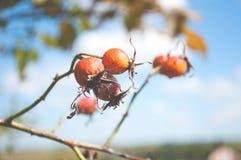 在分支的野玫瑰果莓果 图库摄影