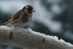 在分支的金翅雀在雪 免版税库存图片