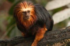 在分支的金黄带头的狮子绢毛猴 免版税库存图片