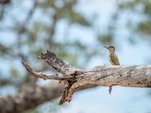 在分支的金黄被盯梢的啄木鸟 免版税图库摄影