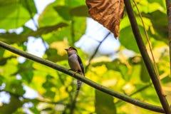 在分支的银breasted Broadbill美丽的鸟 免版税库存图片