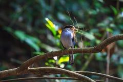 在分支的银breasted Broadbill美丽的鸟 库存照片