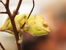 在分支的锥体领袖变色蜥蜴为寻找做准备- Chameleo calyptratus 库存照片