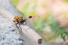 在分支的长角牛甲虫肮脏由土壤 库存图片