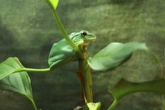 在分支的青蛙 免版税库存照片