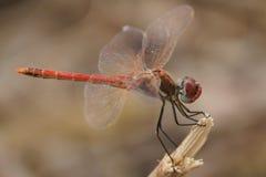紧贴在分支的非洲红色蜻蜓 免版税库存照片