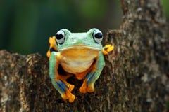 在分支的飞行的青蛙,javan雨蛙,雨蛙 免版税图库摄影