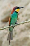 在分支的食蜂鸟 免版税库存照片