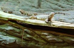 在分支的鬣鳞蜥 免版税库存图片
