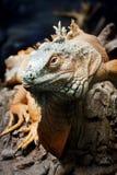 在分支的鬣鳞蜥 图库摄影
