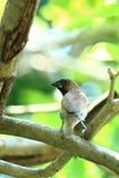 在分支的鳞状Breasted Munia鸟 库存照片