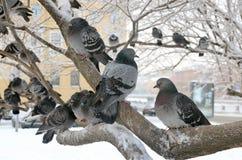 在分支的鸽子 免版税库存图片