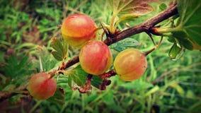 在分支的鹅莓在庭院里 免版税库存照片